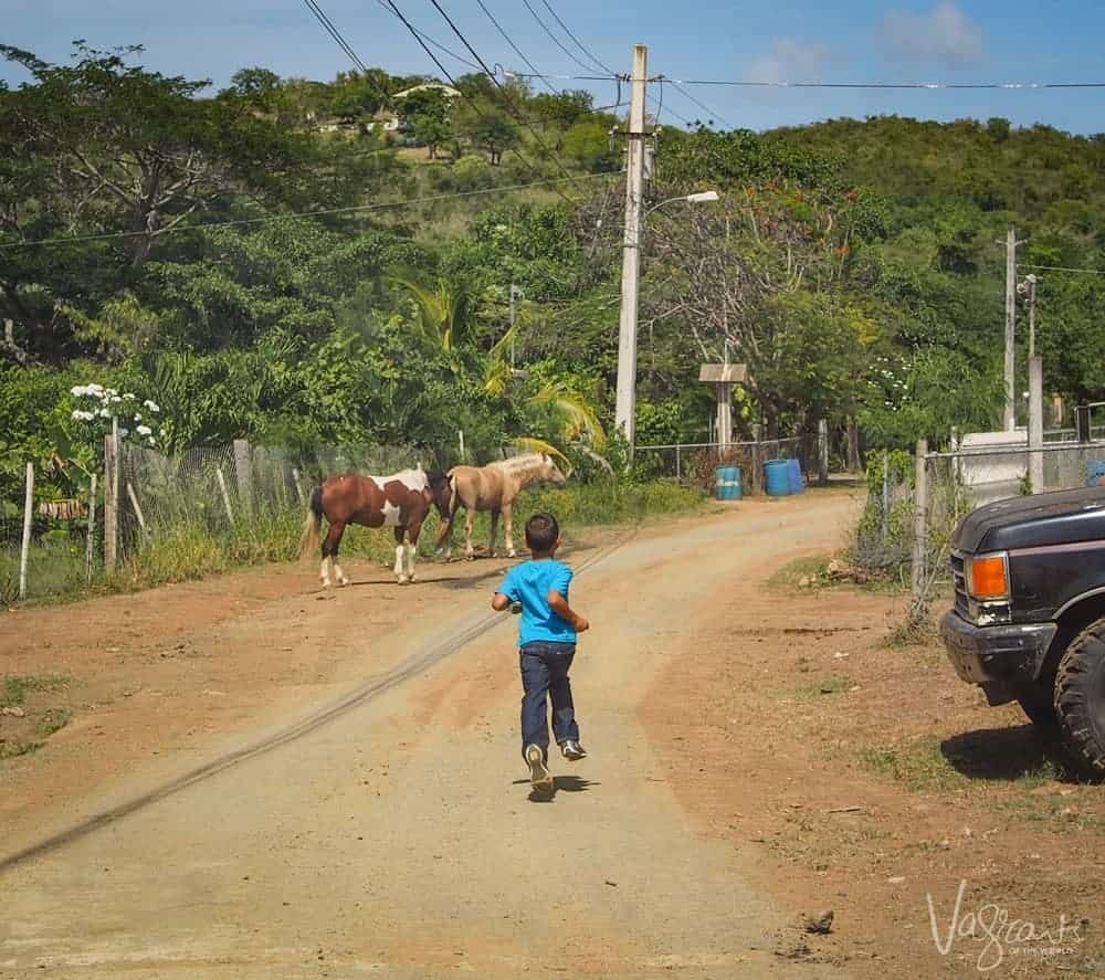 Vieques Island - Boy and wild horses on the road