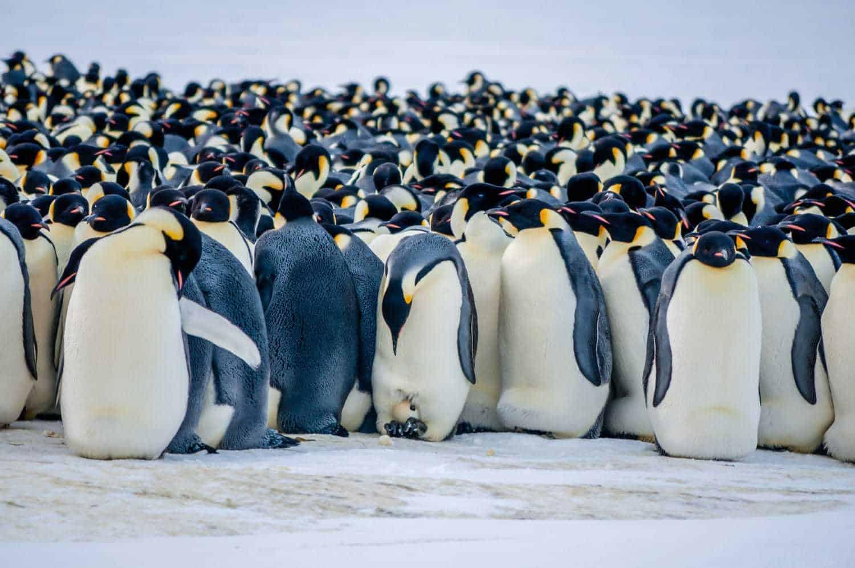 emperor penguins Antarctica