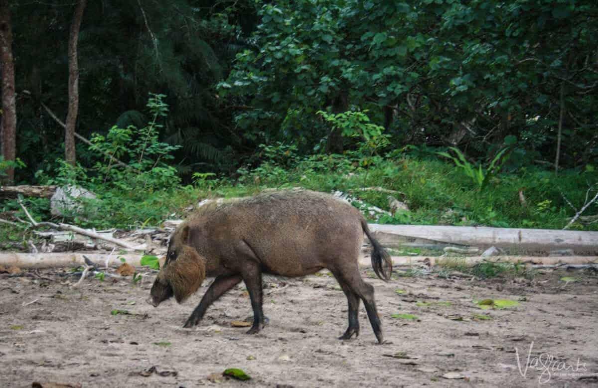 Bornean Bearded Pig- Bako National Park, Borneo