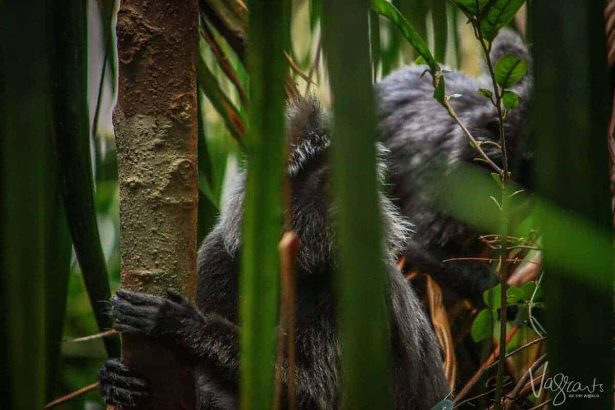 Silver Leaf Monkey- Bako National Park, Borneo