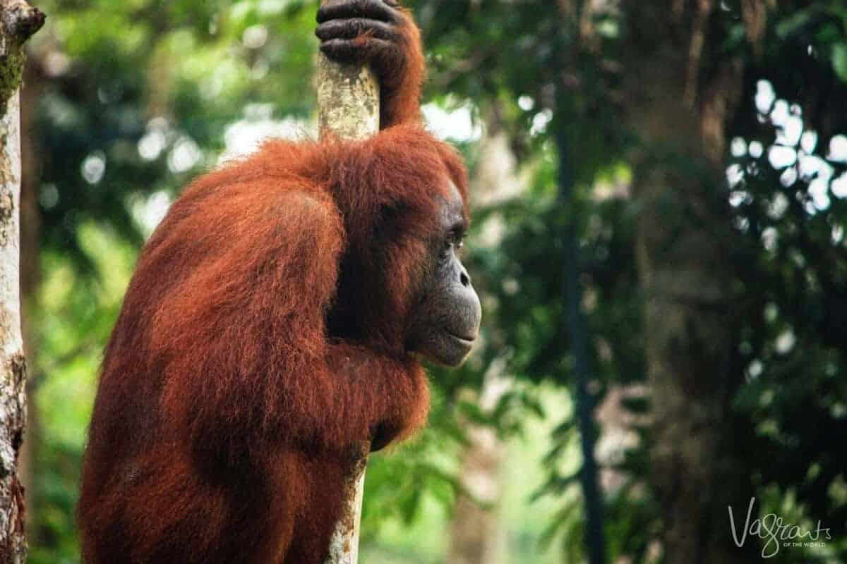 Orangutan - Semengoh,Borneo