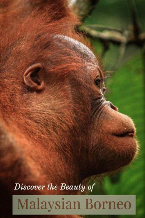 Close up of baby orangutan in Borneo