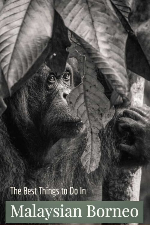 Black and white image of an adult orangutan looking through leaves