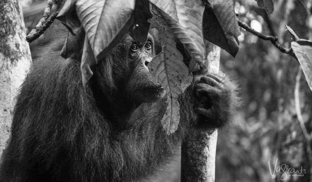 Orangutan Borneo Malaysia