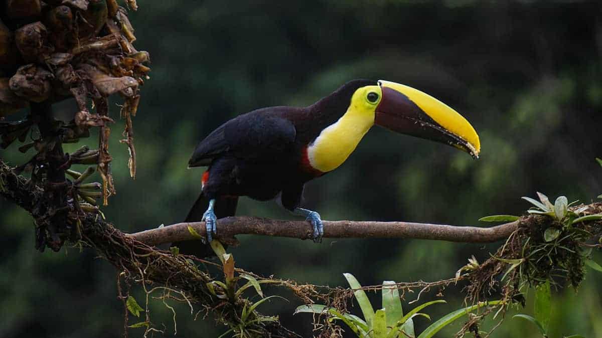 Toucan in tree on the Rio San Juan Nicaragua