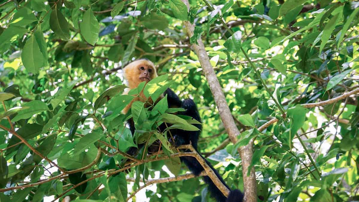 Rio San Juan Tours Nicaragua - Howler Monkey