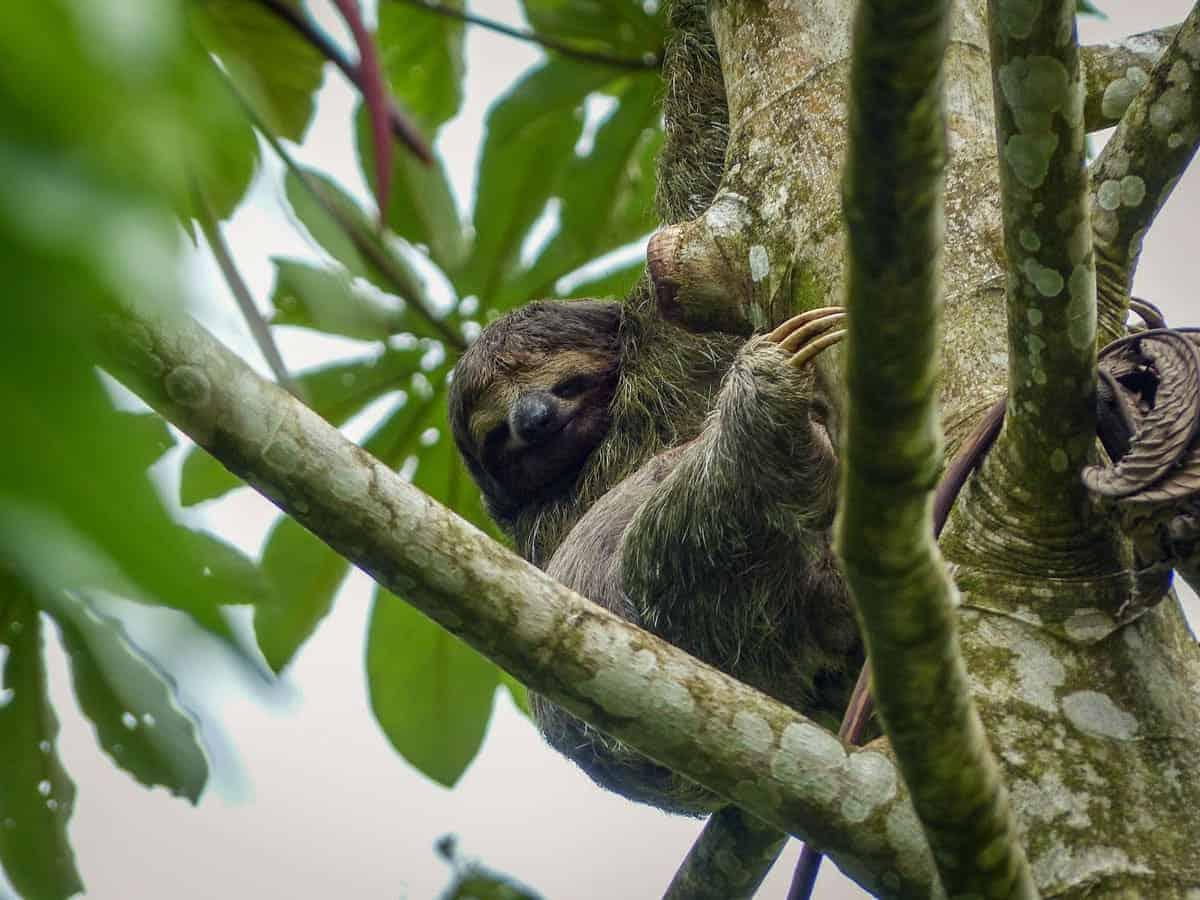 Rio San Juan Tours Nicaragua - Sloth in Tree
