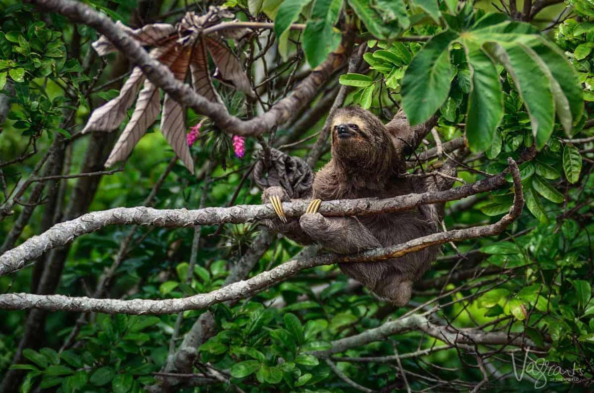Sloth in Tree Matagalpa Nicaragua