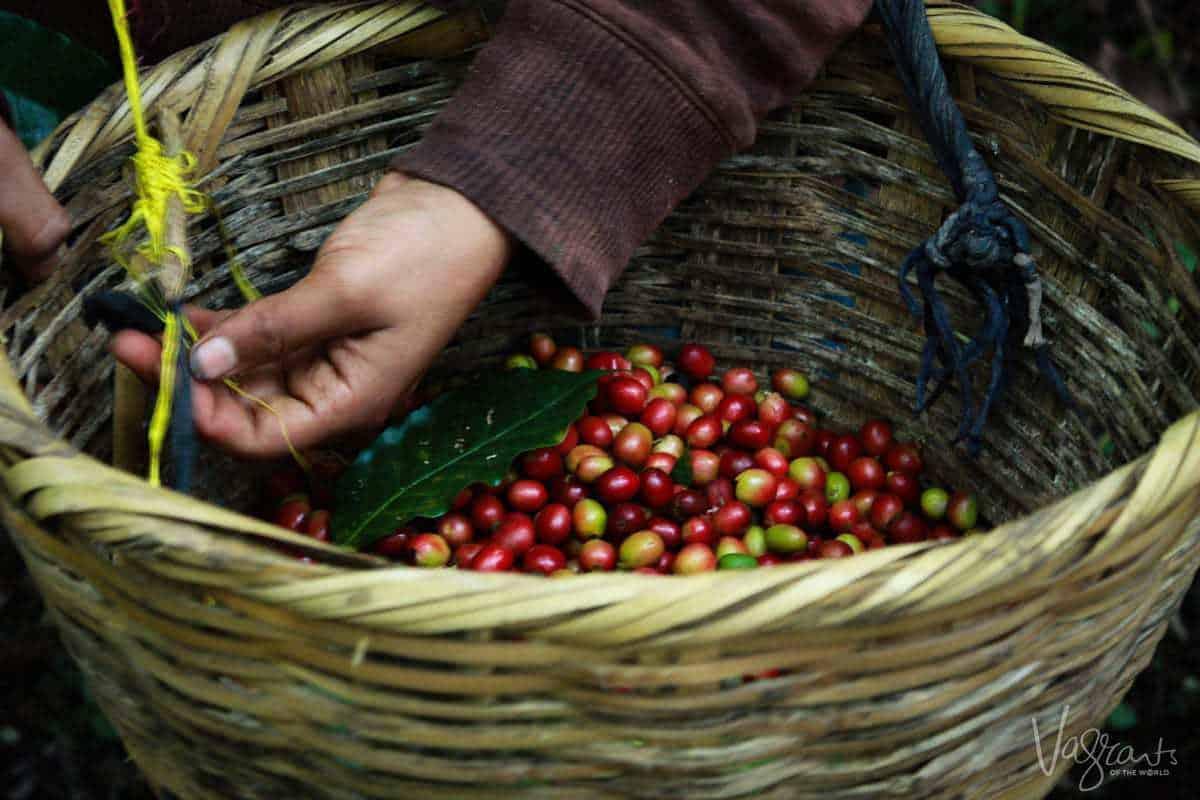 Coffee harvest Matagalpa Nicaragua