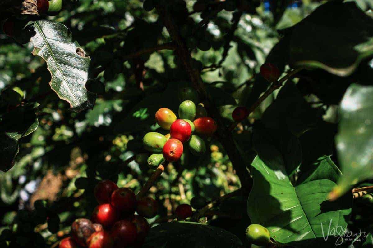 Coffe plantation in Matagalpa Nicaragua