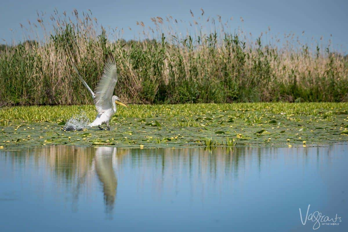 Pelican in flight -Danube Delta Romania