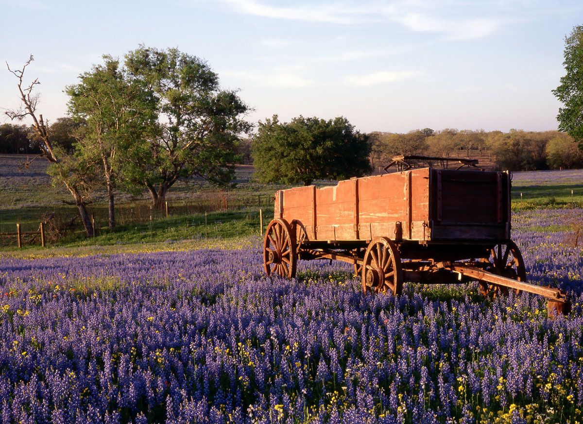 A wooden wagon in lavender fields in Texas Hill country.
