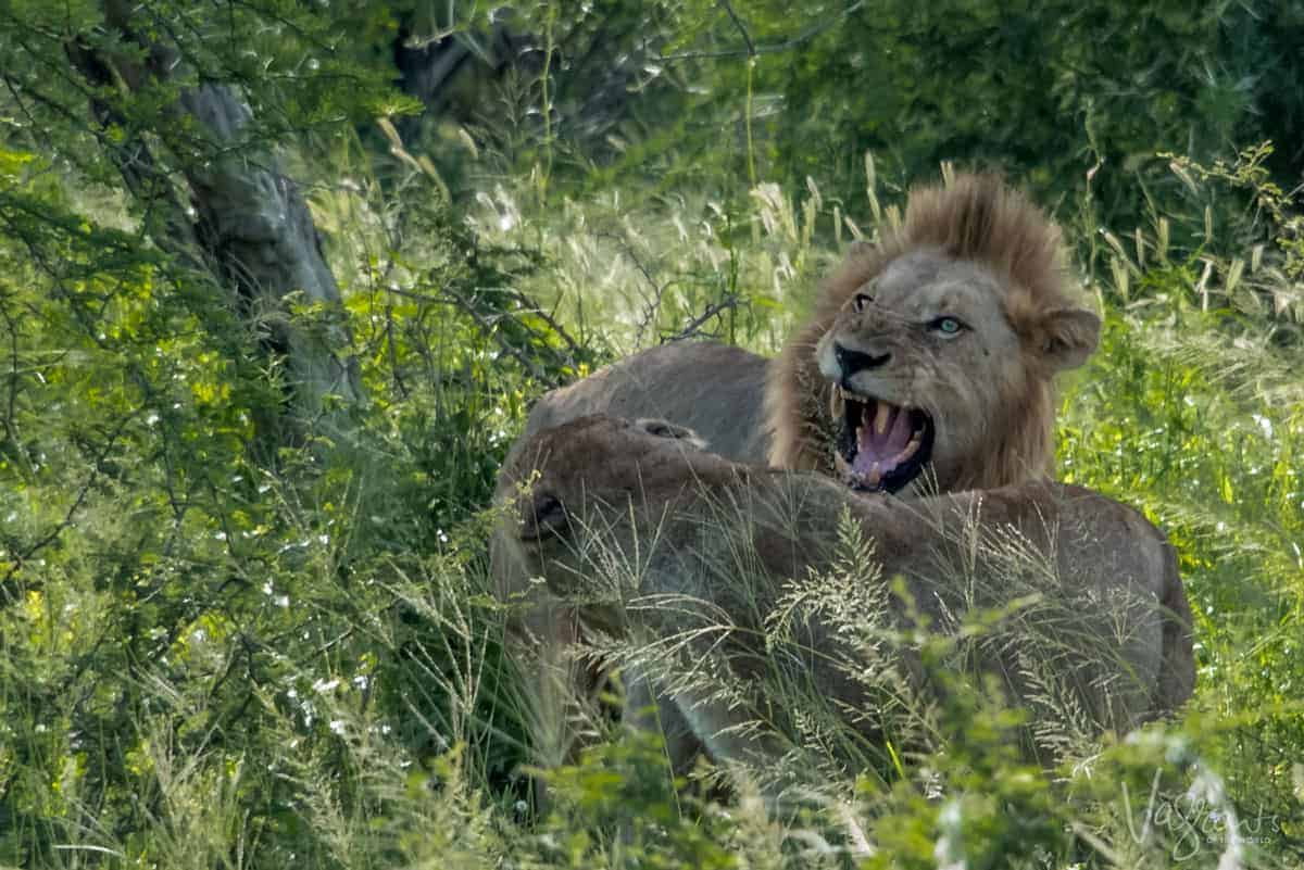 Animals in Kruger National Park. - Lions