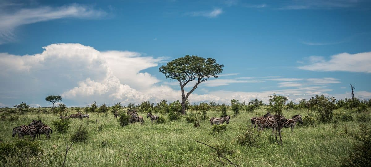 Animals in Kruger National Park - Zebra