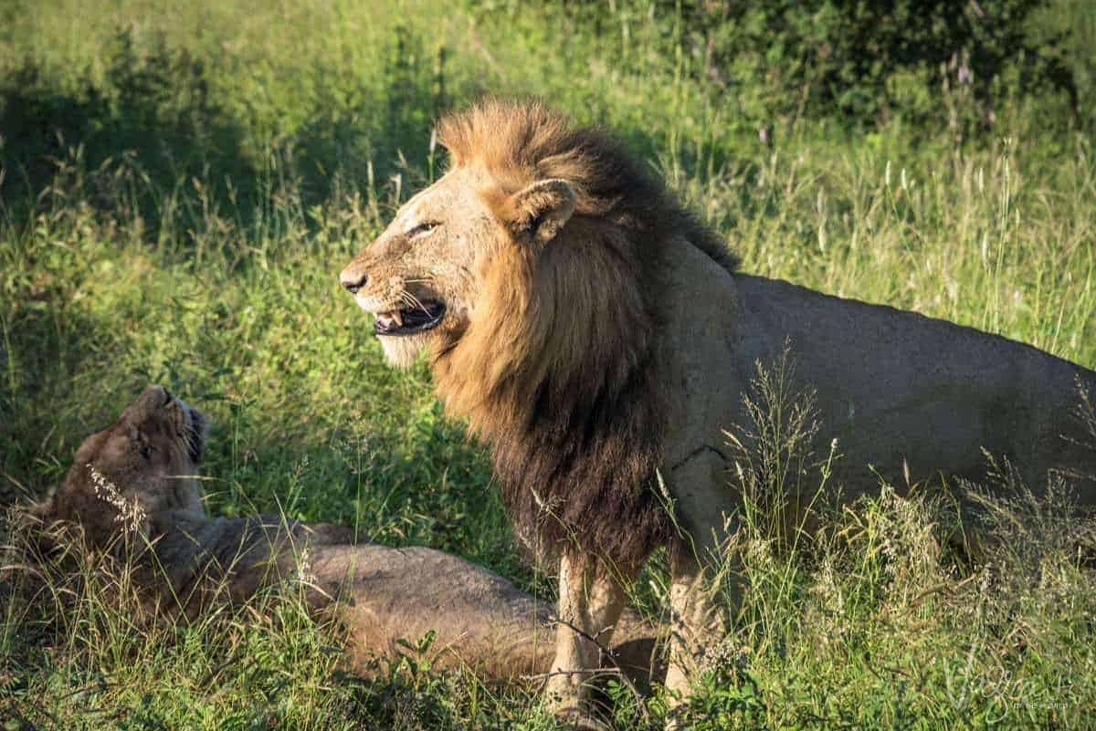 Lions Mating - Kruger National Park