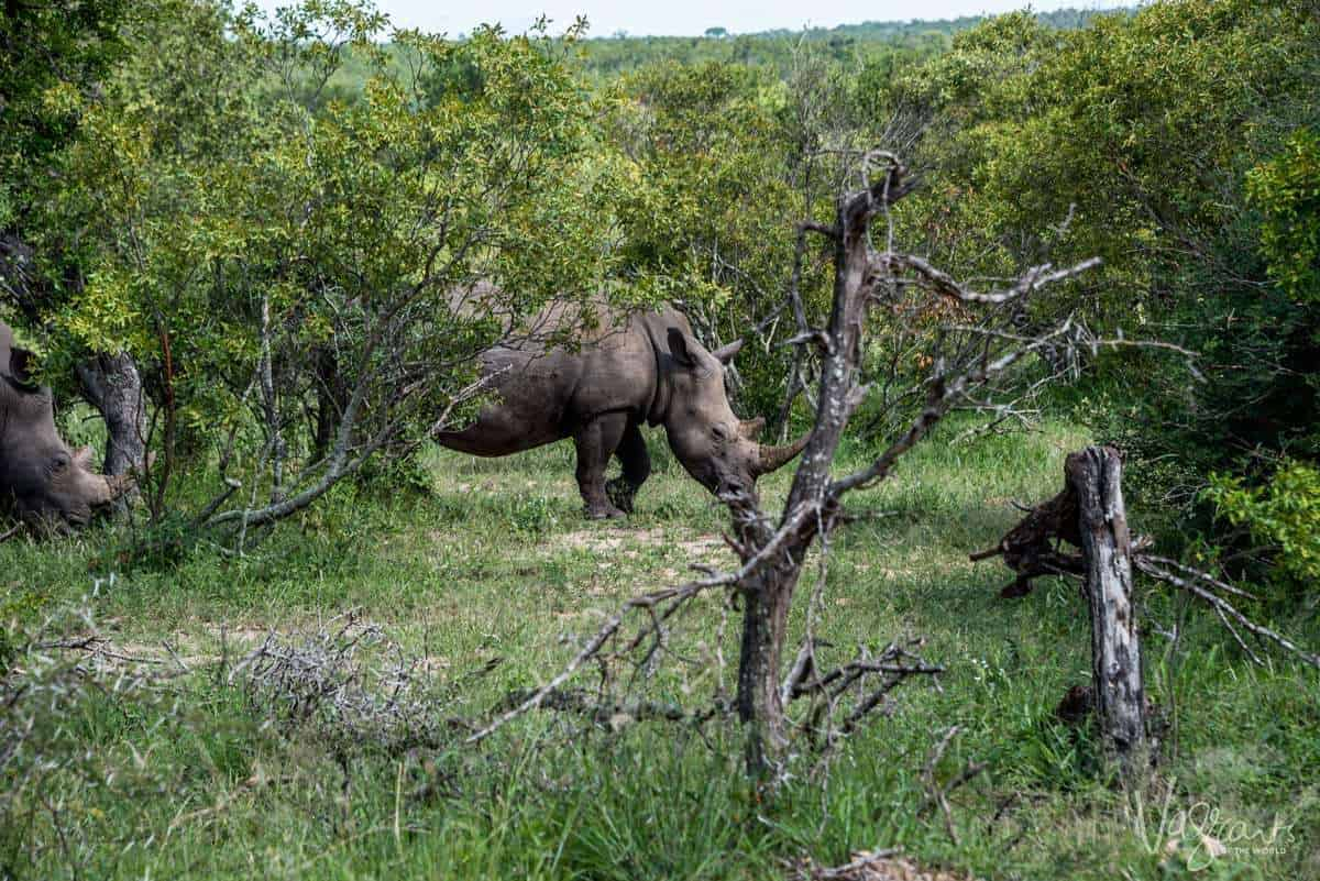 Animals in Kruger National Park - Rhino Grazing
