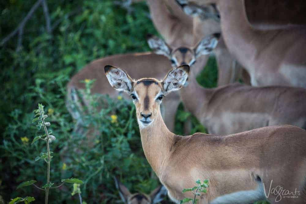 Impala at nThambo Tree Camp- Affordable luxury African Safaris.