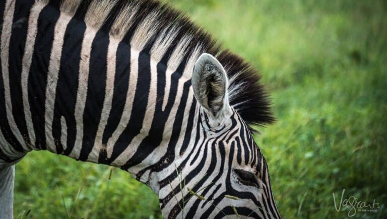 Zebra at nThambo Tree Camp- Affordable luxury African Safaris.