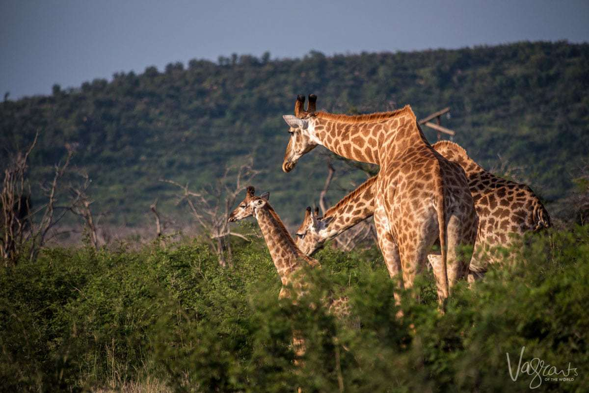 Safari in Kruger National Park - Family of Giraffe