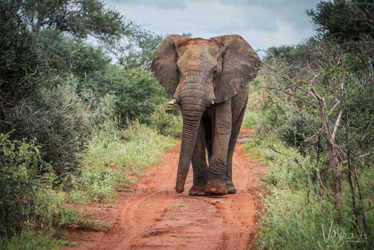 Kruger Safari - Elephant on road