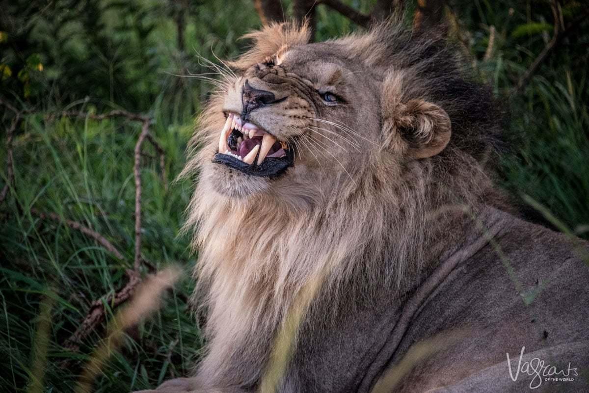 Kruger National Park self drive safari - Male Lion