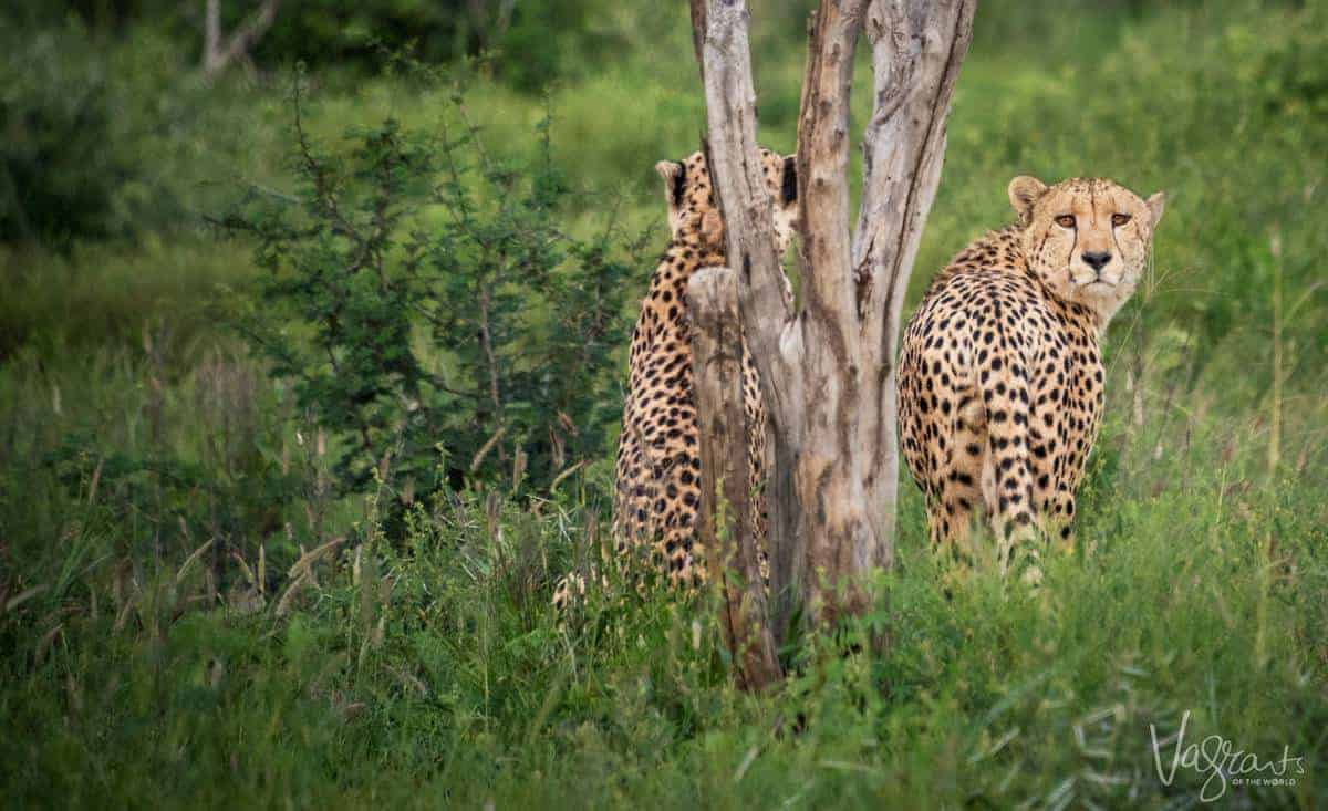 Luxury African Wildlife Safaris - Pair of Cheetah