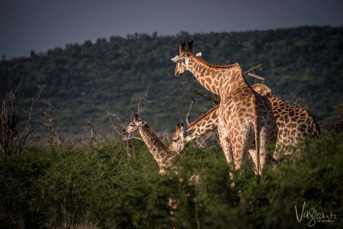 Luxury African Wildlife Safaris - Giraffe