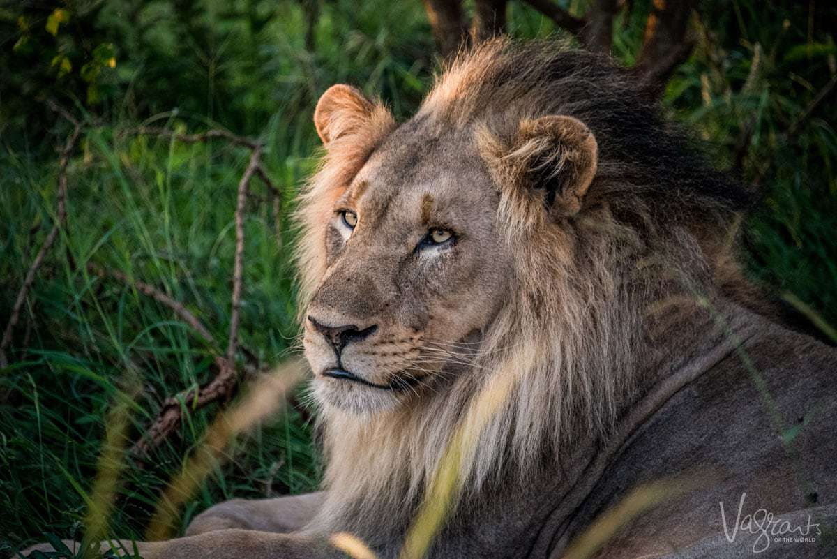 Luxury African Wildlife Safaris - Male Lion