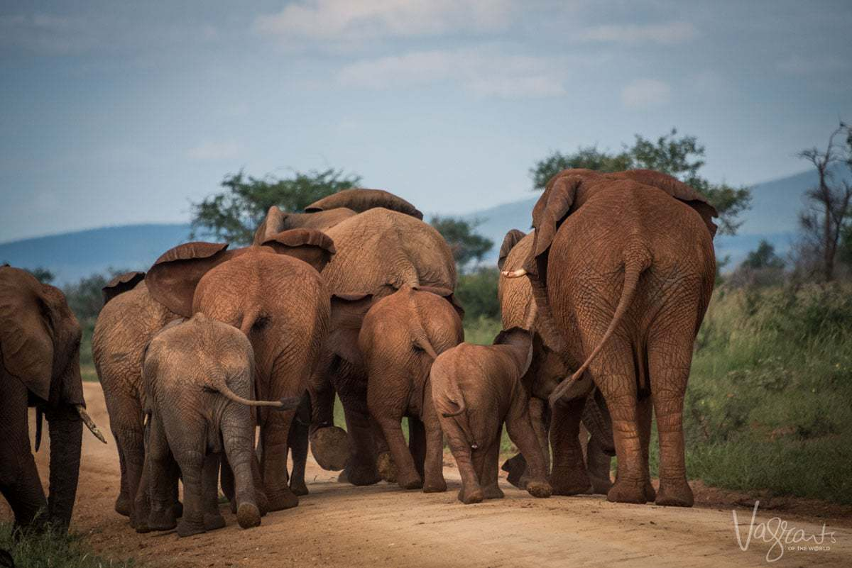 African Wildlife Safaris - Herd of elephants