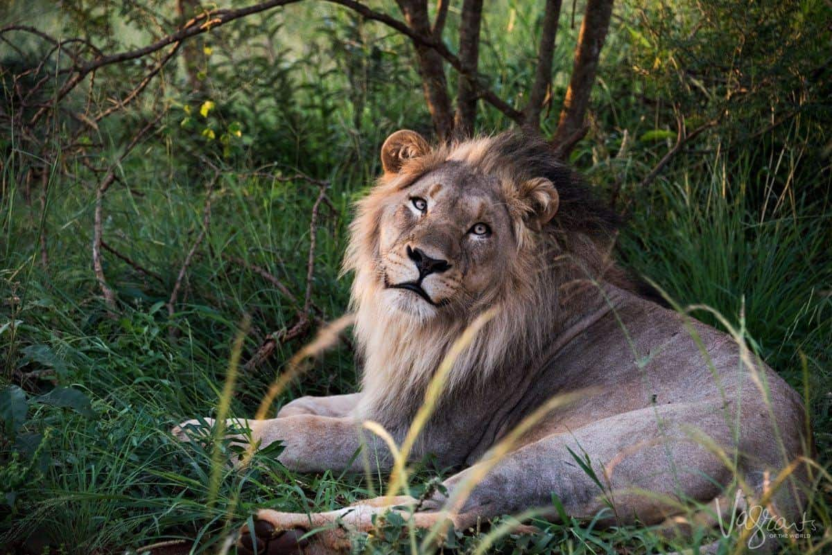A lazy lone male lion lying in the grass - add this to your kruger park itinerary