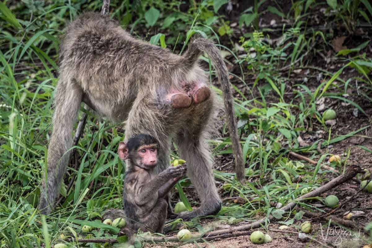 Baboons in Kruger National Park