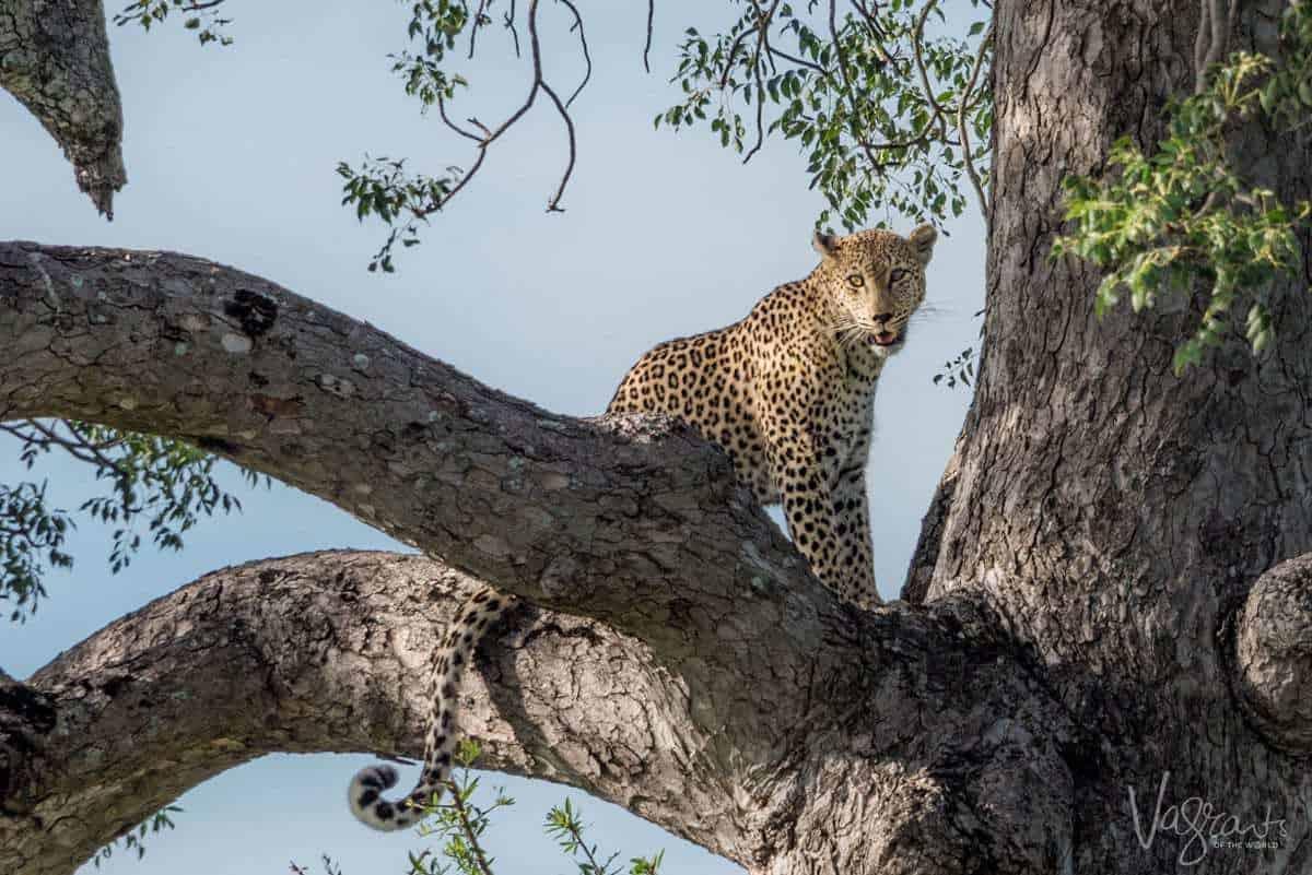 Cheetah in a tree on Kruger self drive safari