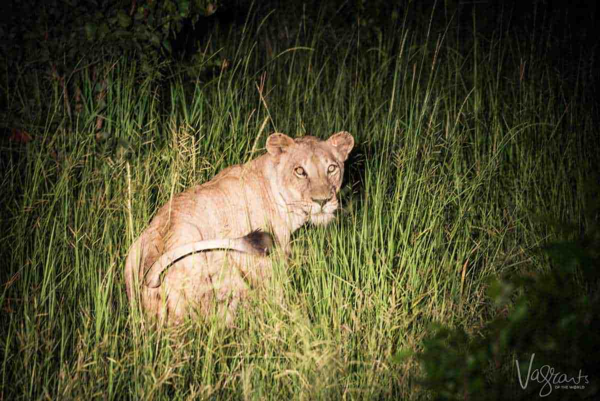 Female lion at night in Kruger National Park