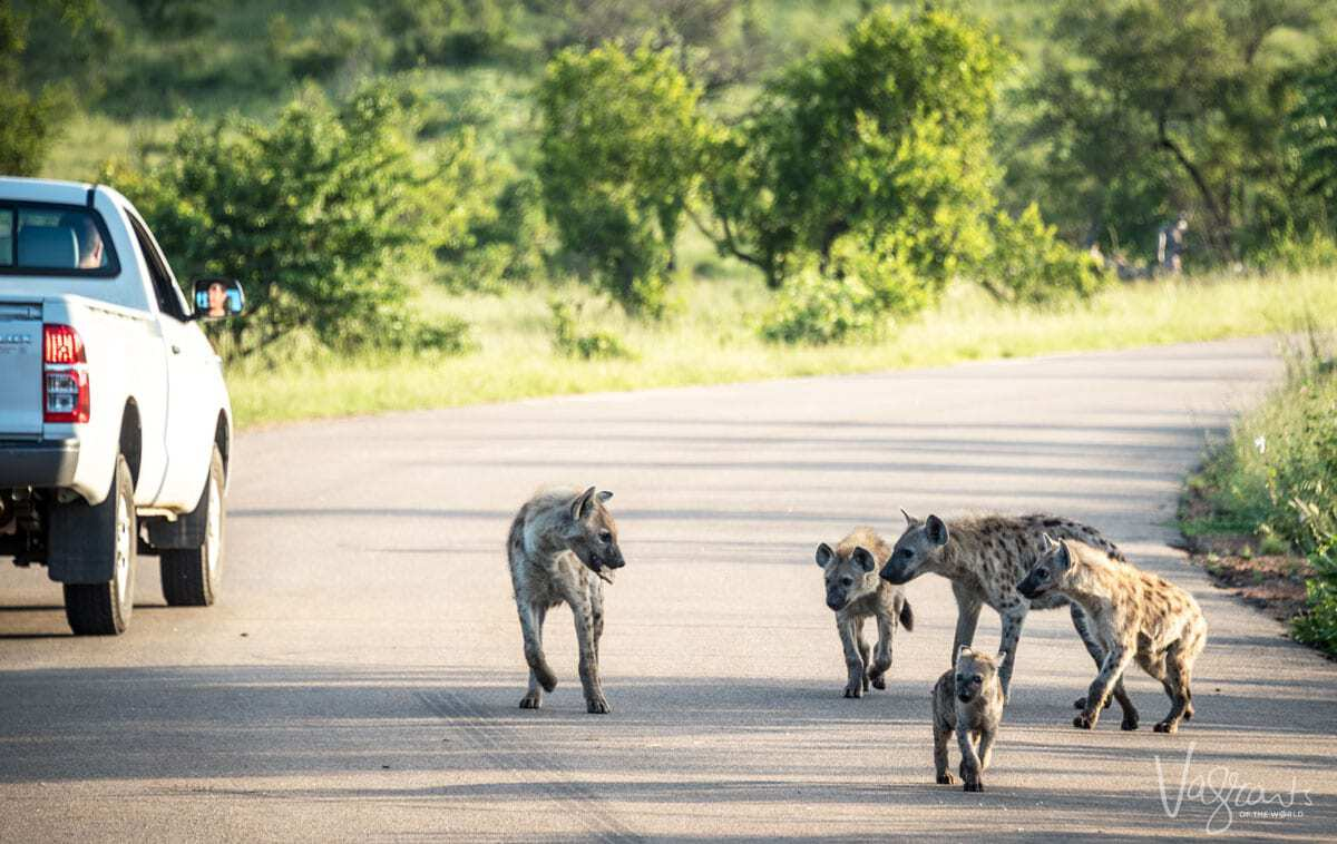 Family of Hyena in Kruger National Park