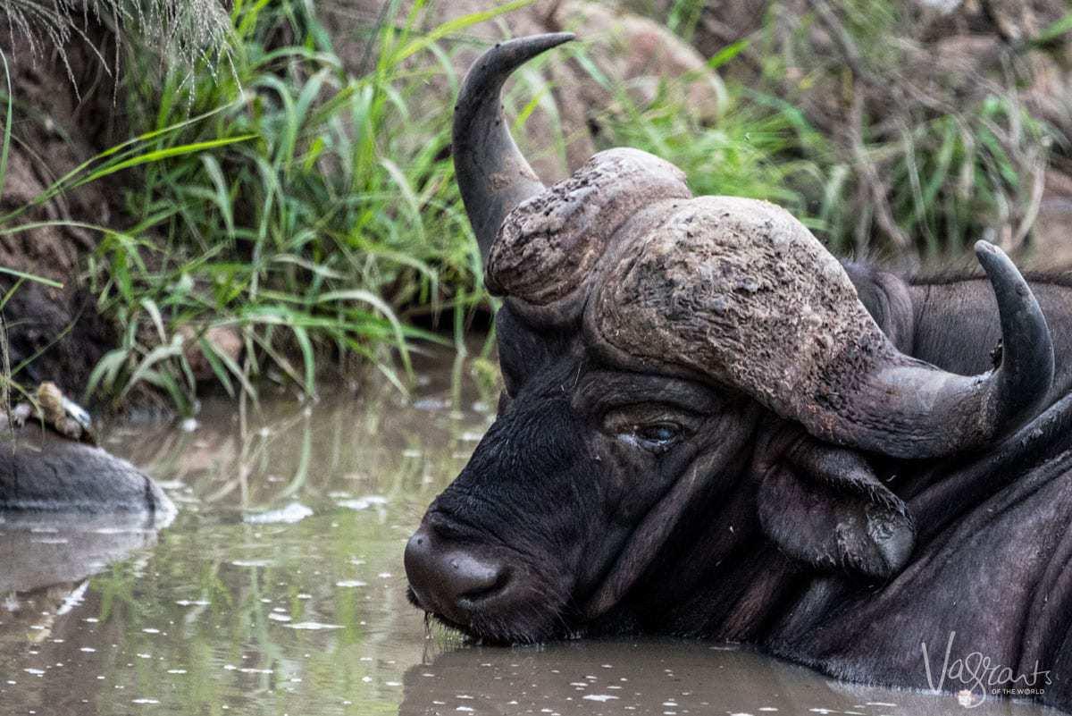 Male buffalo on Kruger self drive safari