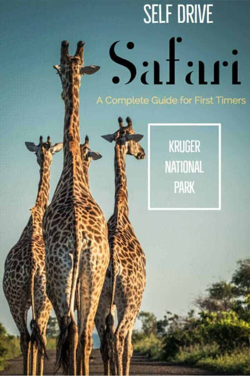 A complete guide to Kruger Self Drive Safari | Kruger National Park Safari | South Africa | Budget Safari #safari #kruger #southafrica #traveltips