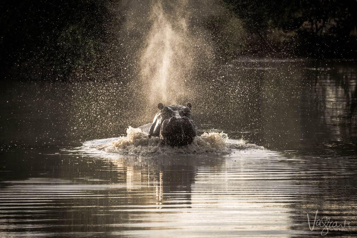 Okavango Delta Wildlife - Hippo charging