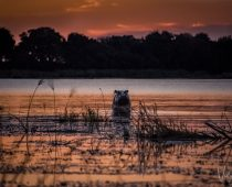 Into The Wild. An Okavango Delta Safari.