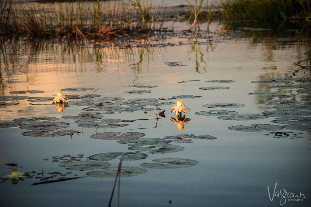 Okavango Delta Safari - Water Lillies