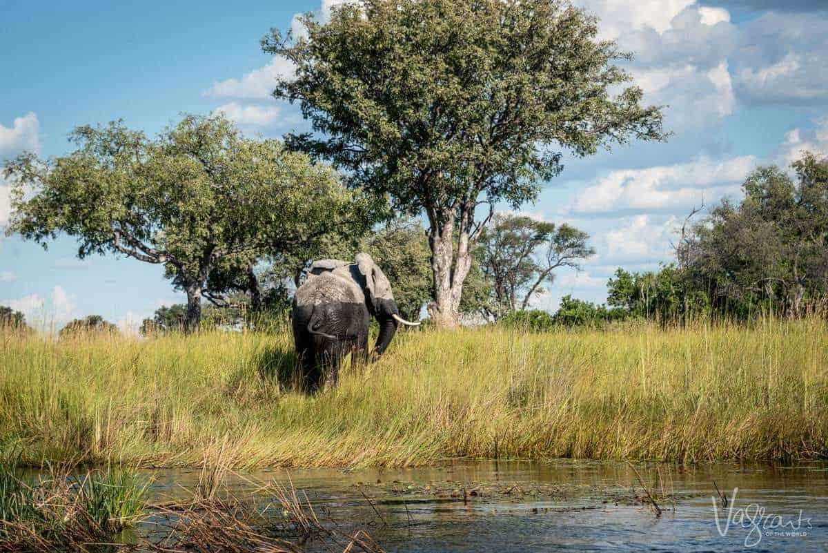 Okavango Delta Wildlife - Elephant walking from the water