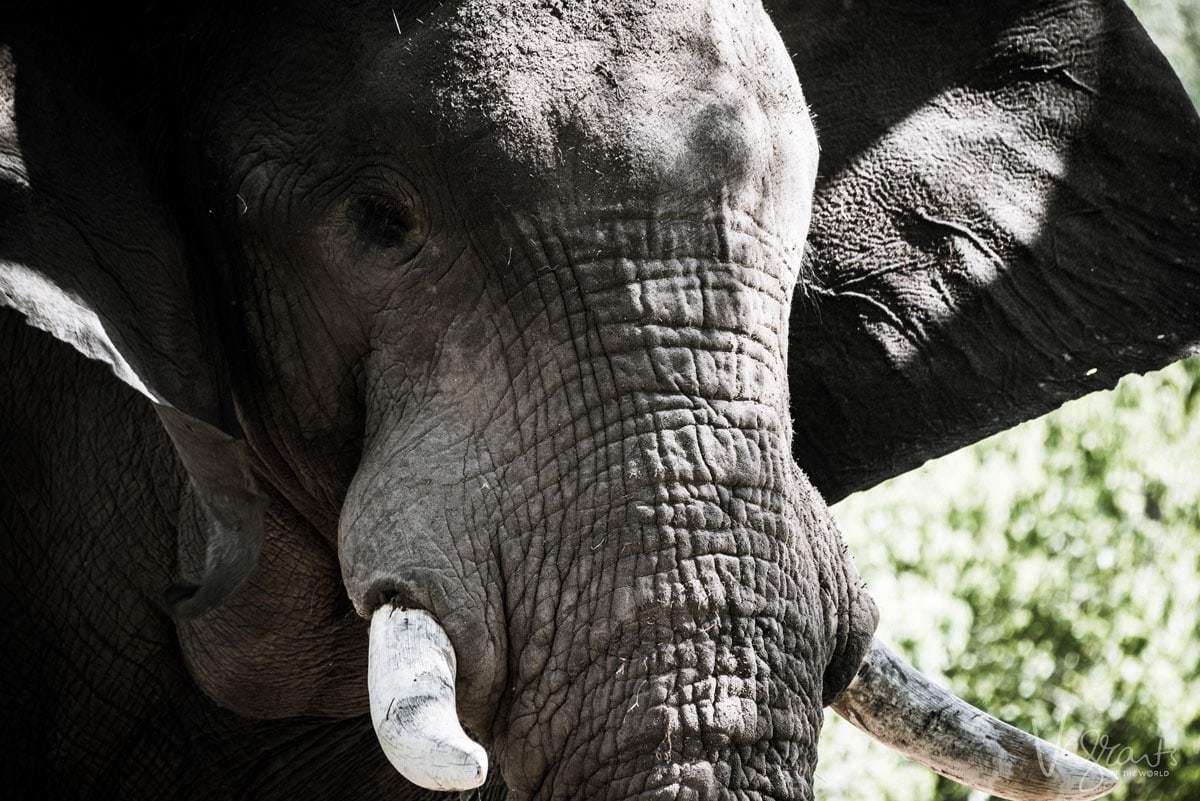 Okavango Delta Wildlife - Elephant