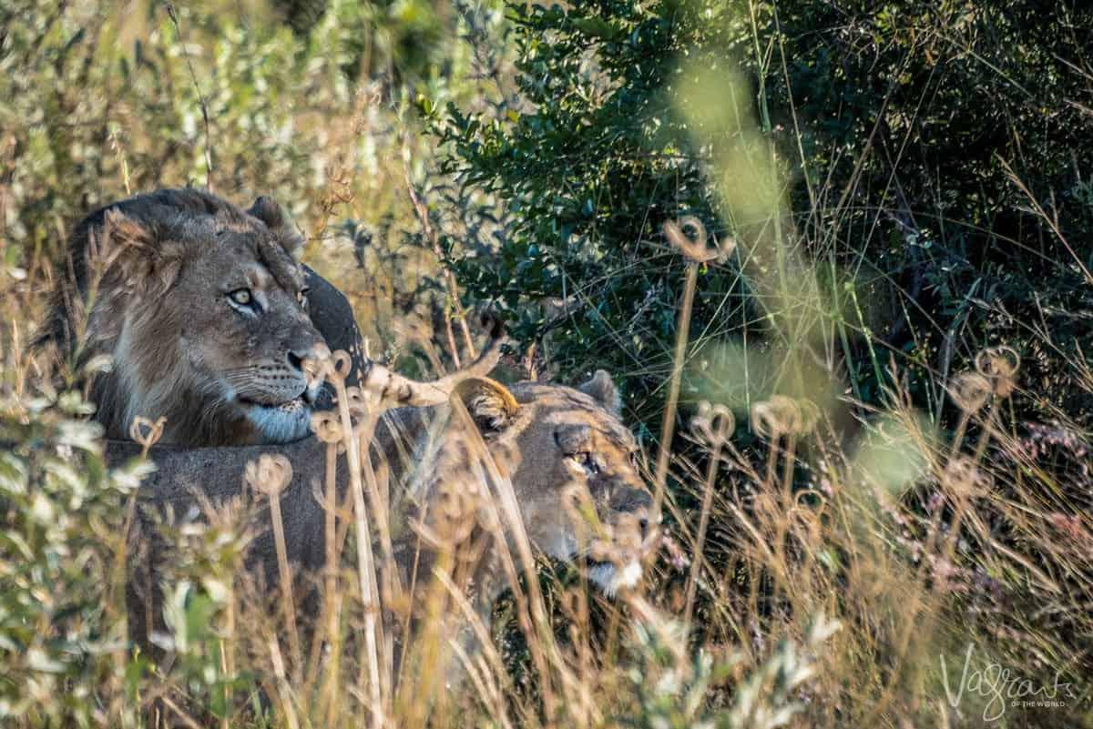 Okavango Delta Wildlife - Mating pair of lions