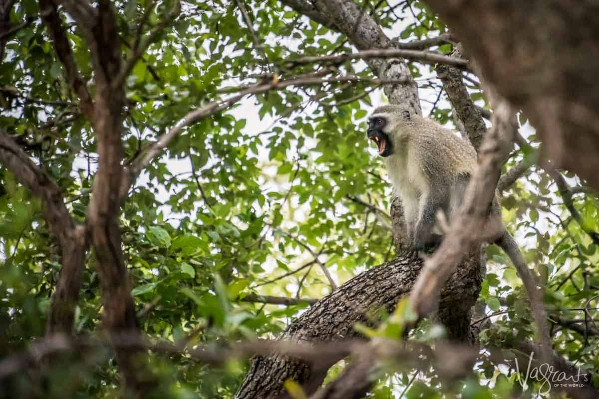 Monkey sitting in a tree on the Panorama Route South Africa. you will never know what wildlife you may encounter on your panorama route from Johannesburg to Kruger