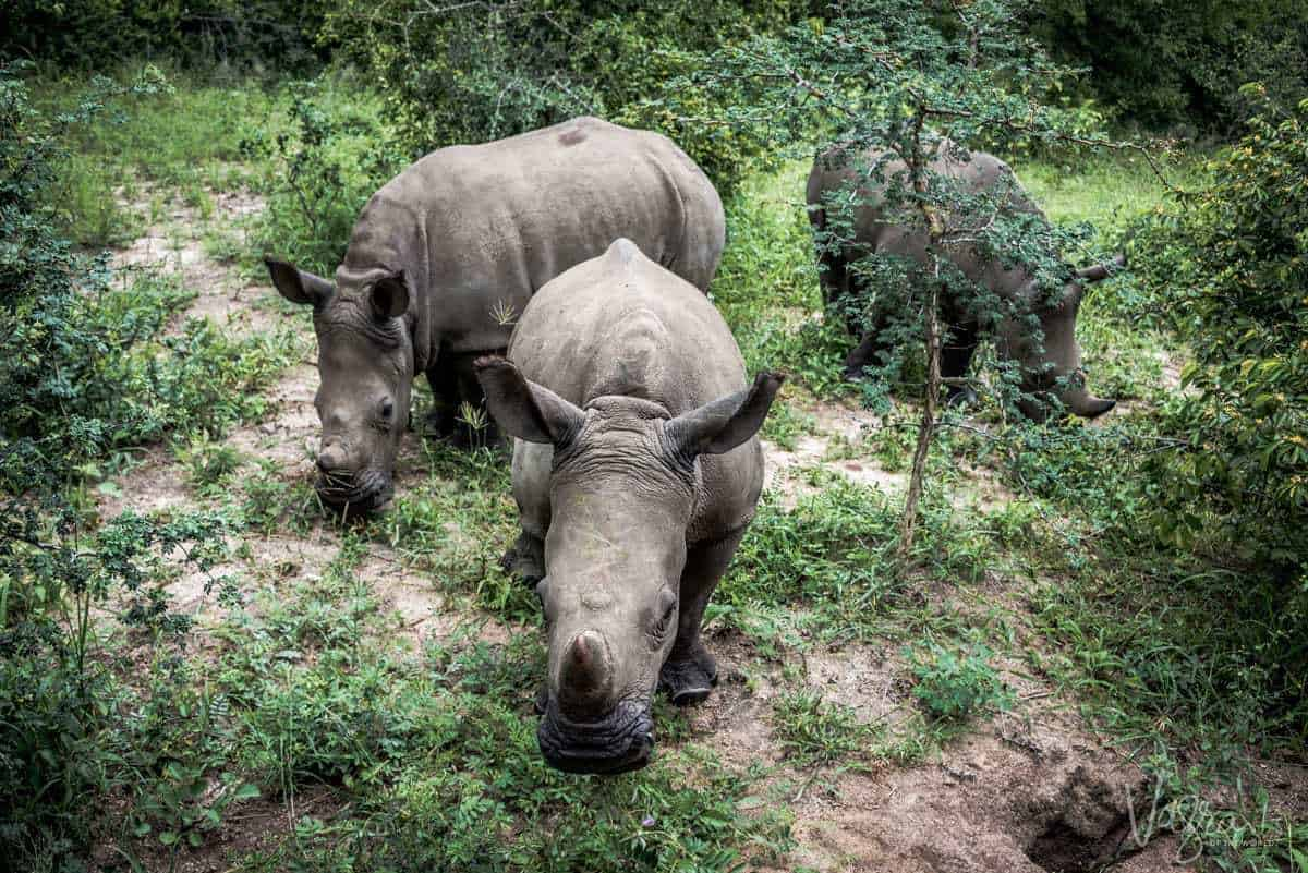 3 rhinos standing in vegetation at the Hoedspruit Endangered Species Centre Panorama Route South Africa. The panorama route is one of the best places to explore in southern africa.