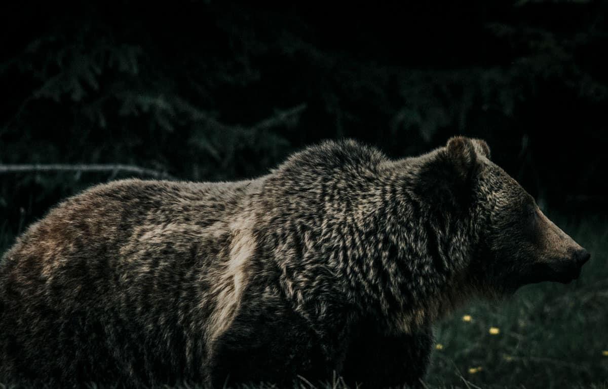 Wild Bear Banff Canada