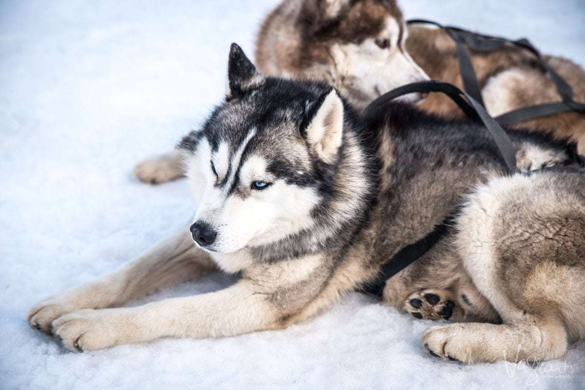 Husky's sitting on the snow wearing sled harnesses. Husky sledding is a popular thing to do in Europe in the winter.