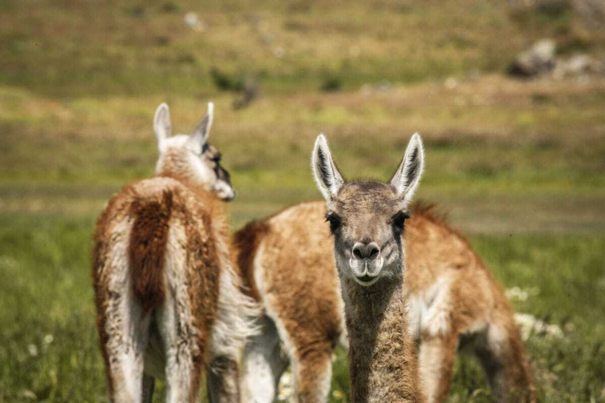 Guanaco's - Wildlife in Patagonia South America