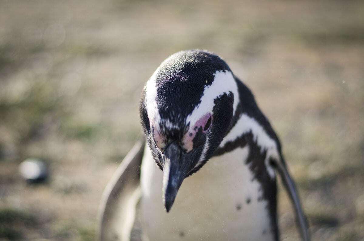 Penguin - Wildlife in Patagonia South America
