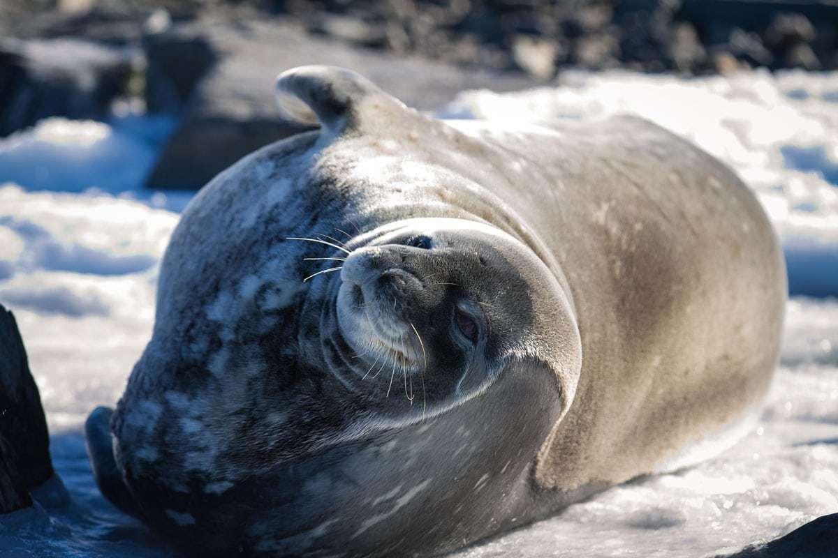 Seal In Patagonia