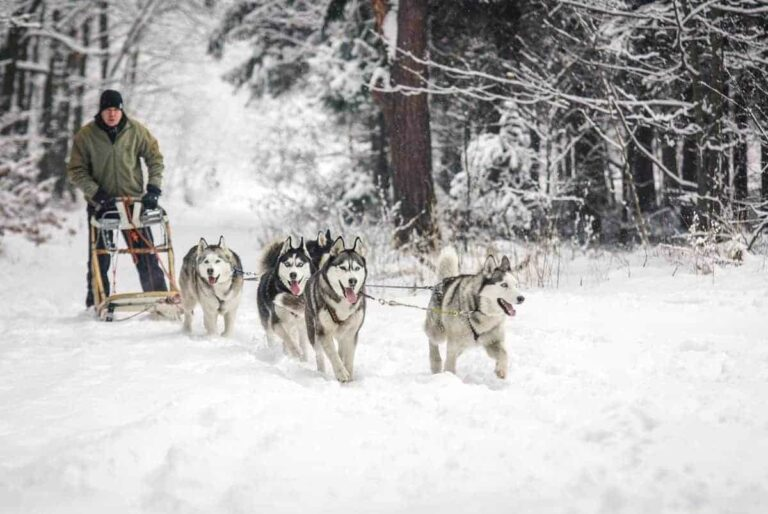 Husky sledding in the snow is one of the most amazing things to try in Europe in winter